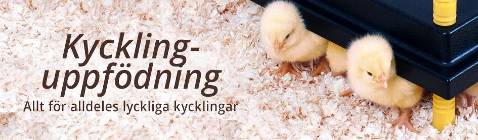 Kycklinguppfödning